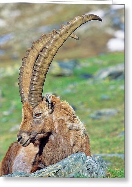Alpine Ibex (capra Ibex Greeting Card by Martin Zwick