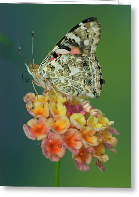 American Painted Lady Butterfly Greeting Card by Darrell Gulin