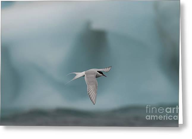 Arctic Tern Greeting Card by John Shaw