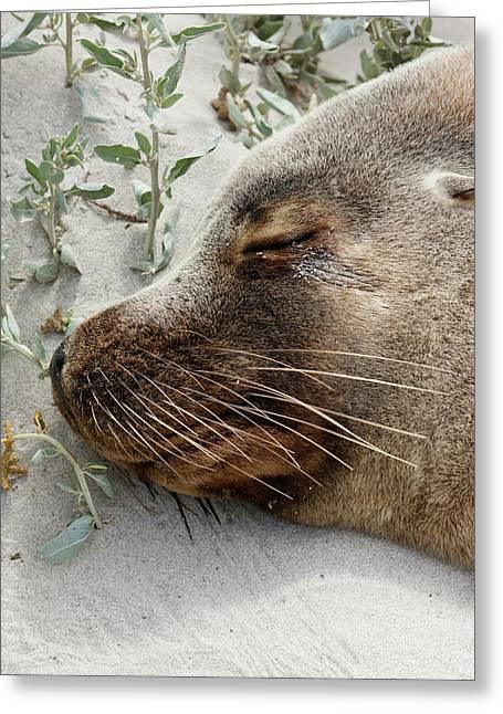 Australian Sea Lion (neophoca Cinerea Greeting Card