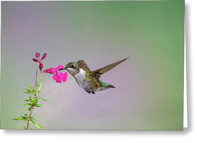 Black-chinned Hummingbird (archilochus Greeting Card by Larry Ditto