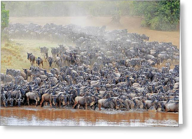 Blue Wildebeest Migration Greeting Card