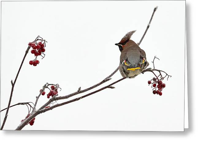 Bohemian Waxwings Eating Rowan Berries Greeting Card