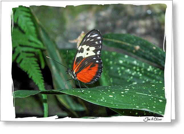 Butterflies Greeting Card by Joe Oliver