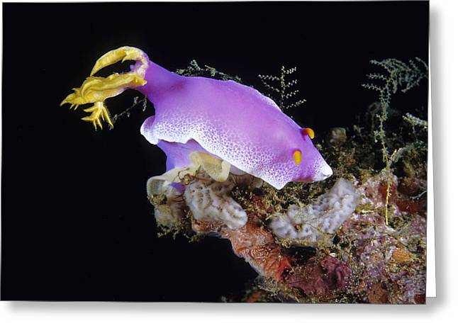 Chromodorid Nudibranch Greeting Card