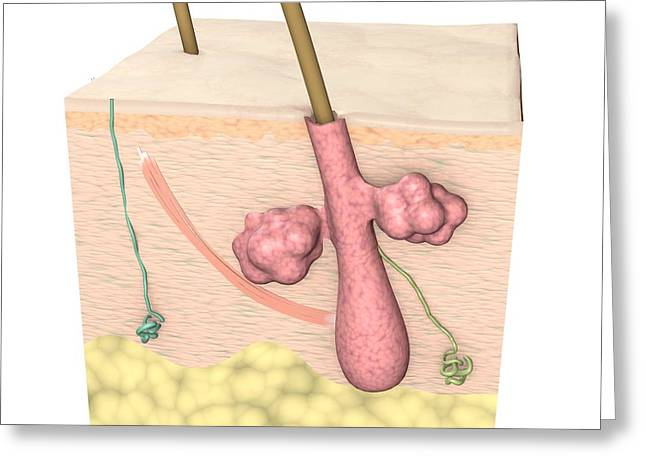 Cross-section Of The Skin Greeting Card by Medical Images, Universal Images Group