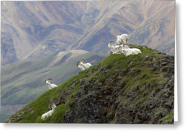 Greeting Card featuring the photograph Alaskan Dall Dahl-sheep Image Art  by Jo Ann Tomaselli