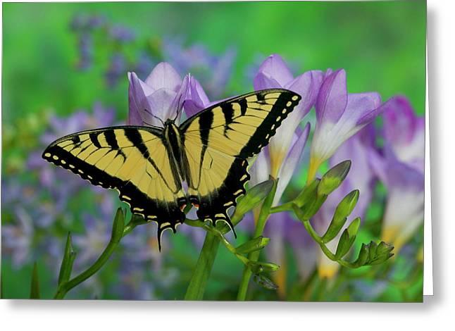 Eastern Tiger Swallowtail Papilio Greeting Card