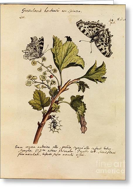 Erucarum Ortus Greeting Card by Maria Sibylla Merian