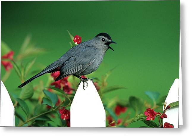 Gray Catbird (dumetella Carolinensis Greeting Card by Richard and Susan Day