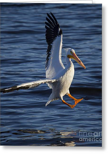 Great White Pelican On The Water Greeting Card