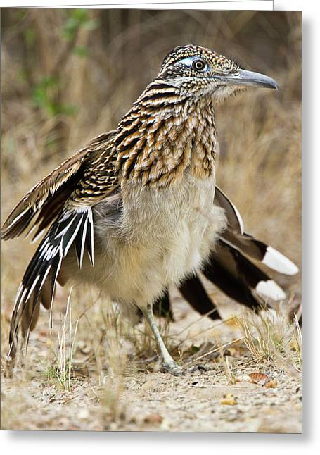 Greater Roadrunner (geococcyx Greeting Card by Larry Ditto