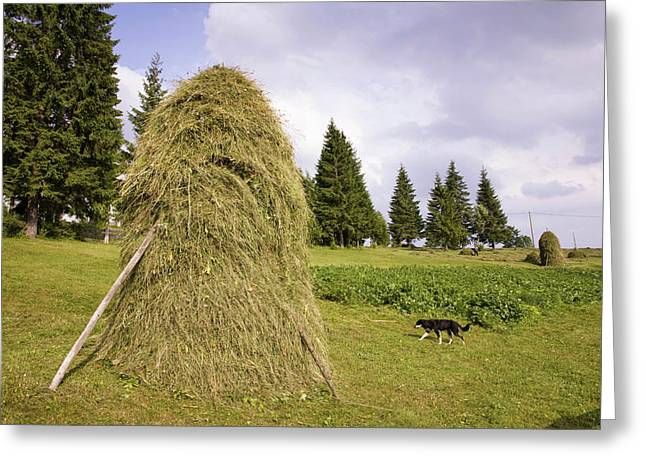 Hay Harvest And Haystack In The Apuseni Greeting Card by Martin Zwick