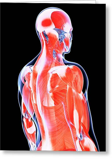 Human Back Muscles Greeting Card