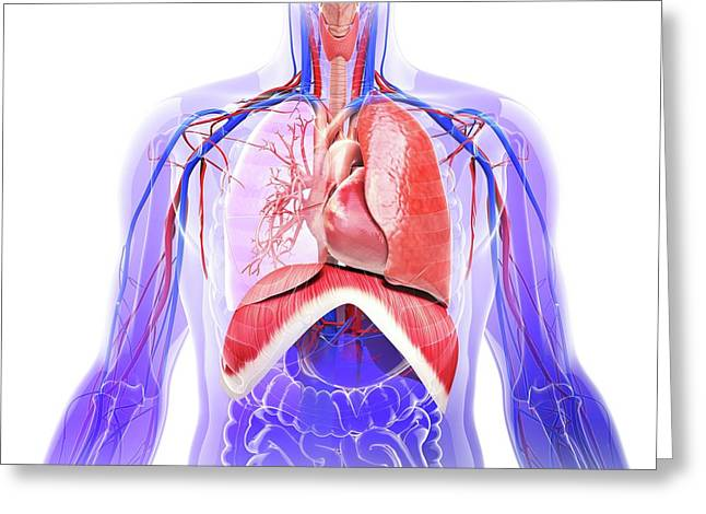 Human Respiratory System Greeting Card