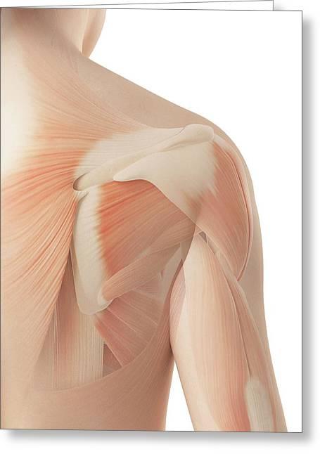 Human Shoulder Muscles Greeting Card by Sebastian Kaulitzki
