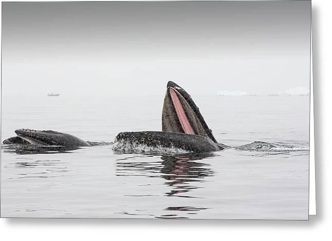 Humpback Whales Feeding On Krill Greeting Card