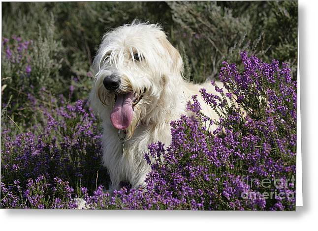 Labradoodle Dog Greeting Card