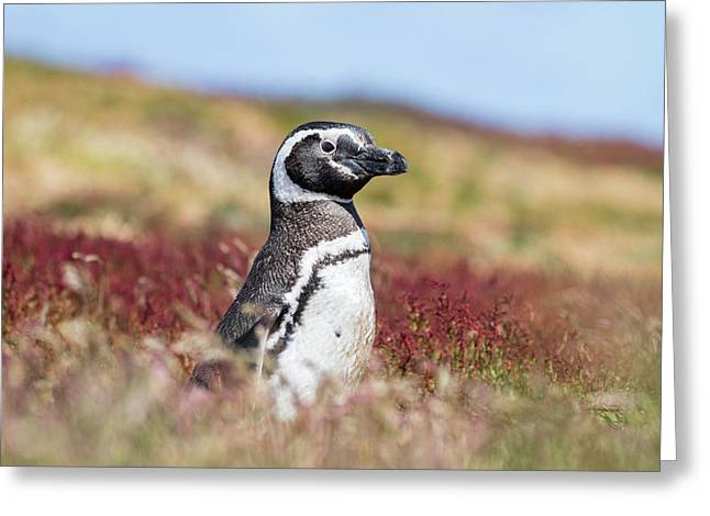 Magellanic Penguin (spheniscus Greeting Card by Martin Zwick