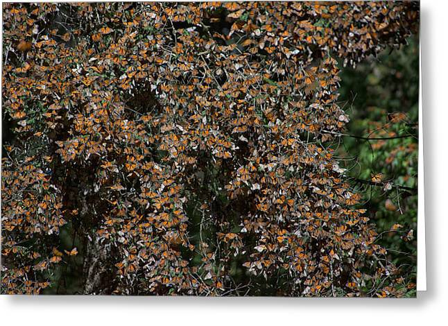 Monarch Butterflies Greeting Card by Carol Ailles