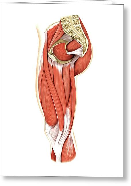 Muscles Of The Thigh Greeting Card by Asklepios Medical Atlas