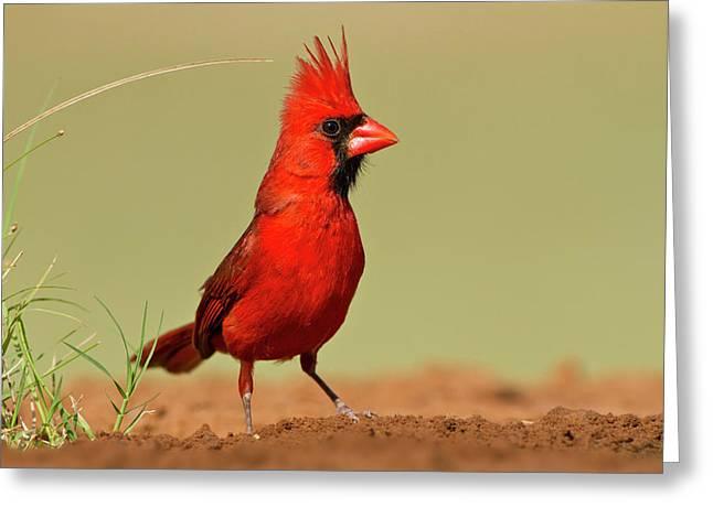 Northern Cardinal (cardinalis Cardinalis Greeting Card