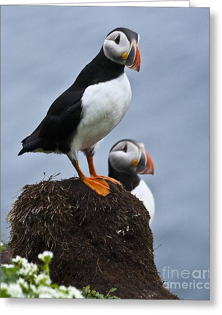 Puffins Greeting Card by Heiko Koehrer-Wagner