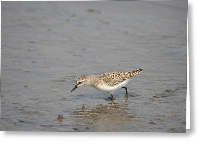 Greeting Card featuring the photograph Semipalmated Sandpiper by James Petersen