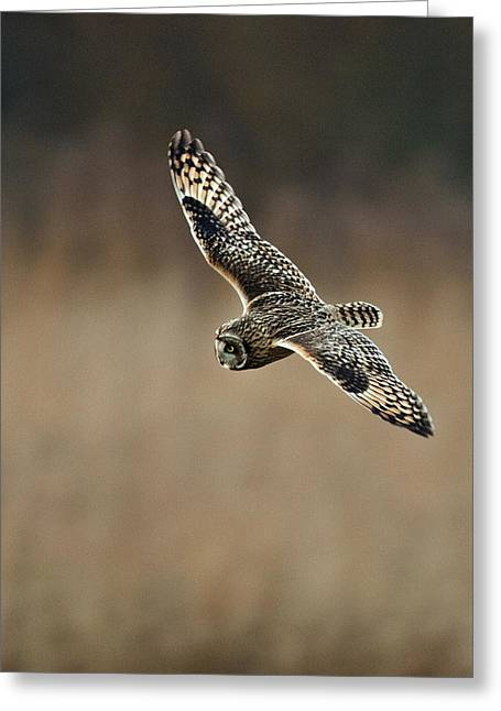 Greeting Card featuring the photograph Short Eared Owl  by Paul Scoullar