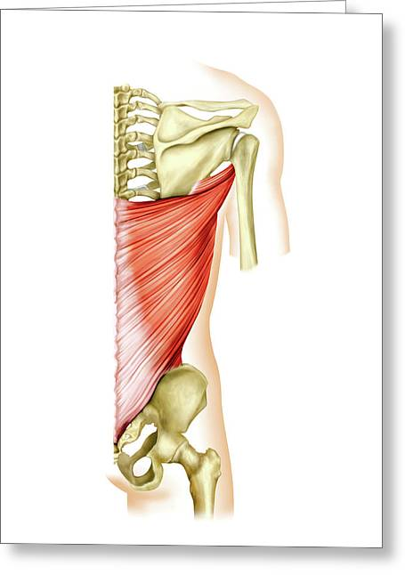 Shoulder Muscles Greeting Card by Asklepios Medical Atlas