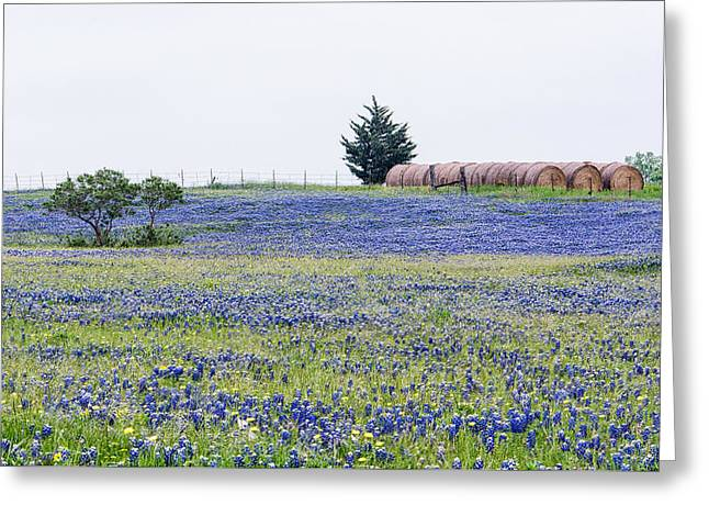 Texas Bluebonnets 5 Greeting Card
