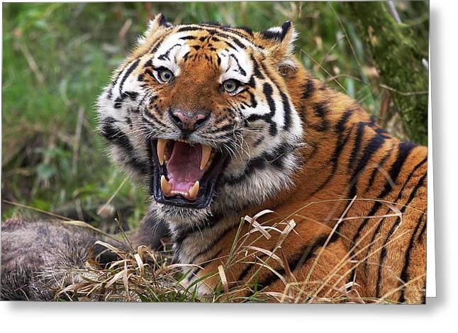 Tigre De Siberie Panthera Tigris Altaica Greeting Card by Gerard Lacz