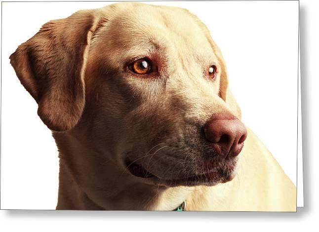 Usa, Oregon, Keizer, Labrador Retriever Greeting Card by Rick A Brown