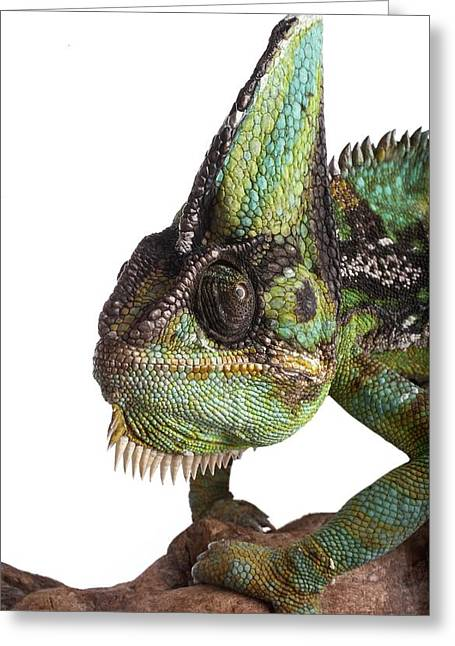 Veiled Chameleon Greeting Card by Science Photo Library
