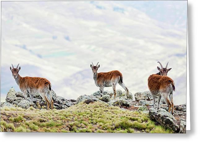 Walia Ibex (capra Walie Greeting Card