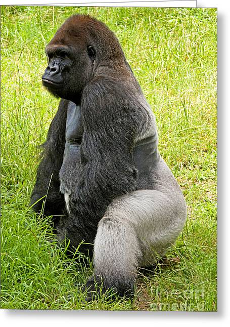 Western Lowland Gorilla Greeting Card by Millard H. Sharp