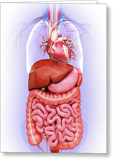 Human Digestive System Greeting Card by Pixologicstudio