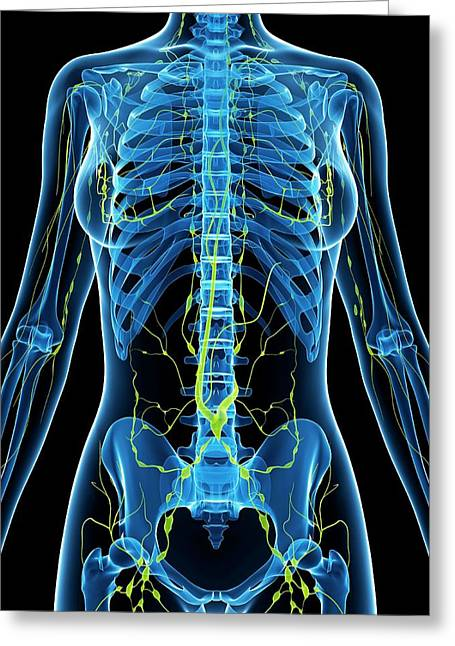 Female Anatomy Greeting Card by Sciepro/science Photo Library