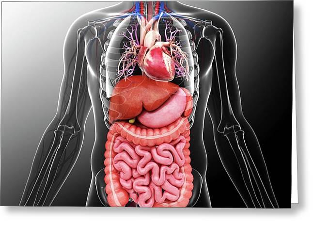 Human Internal Organs Greeting Card by Pixologicstudio