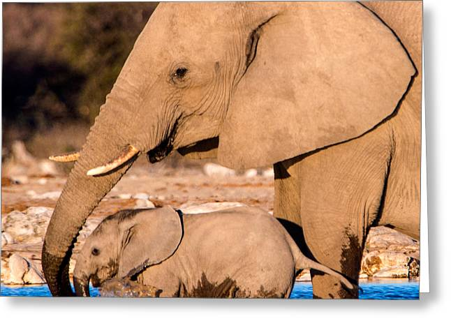 African Elephants Loxodonta Africana Greeting Card