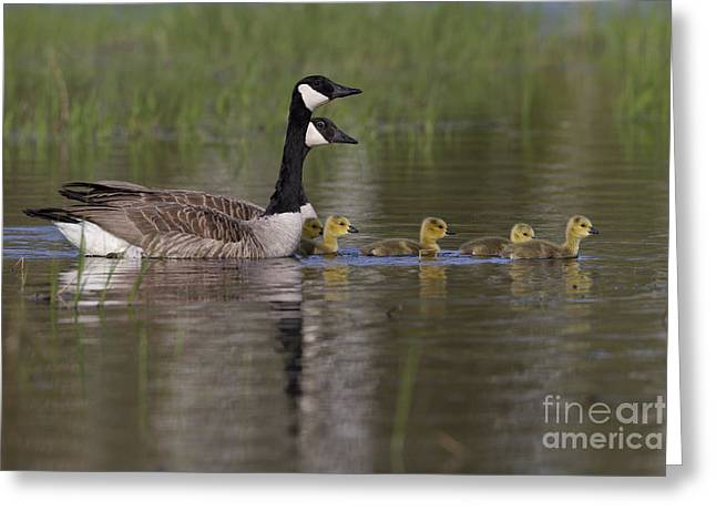 Canada Geese And Goslings Greeting Card by Linda Freshwaters Arndt