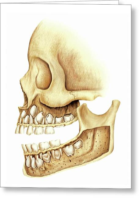 Child's Teeth Greeting Card by Asklepios Medical Atlas