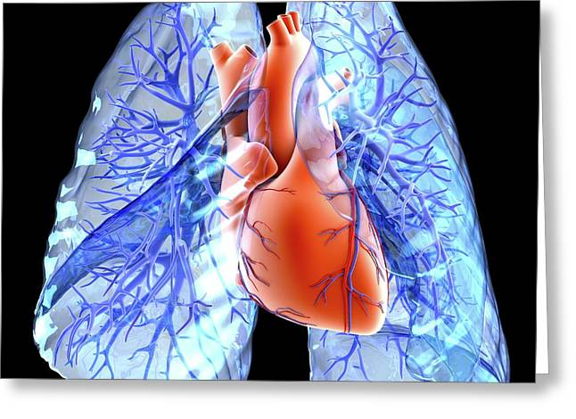 Circulatory System Of Heart And Lungs Greeting Card
