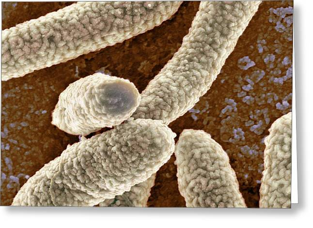E Coli Bacteria Greeting Card by Science Photo Library