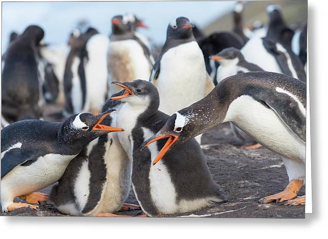Gentoo Penguin (pygoscelis Papua Greeting Card by Martin Zwick