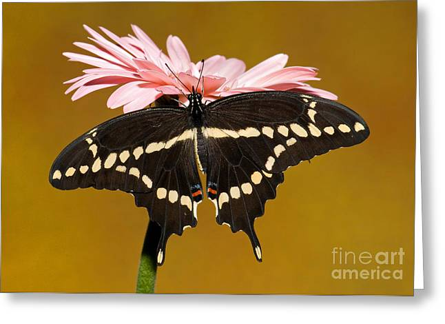Giant Swallowtail Butterfly Greeting Card by Millard H. Sharp
