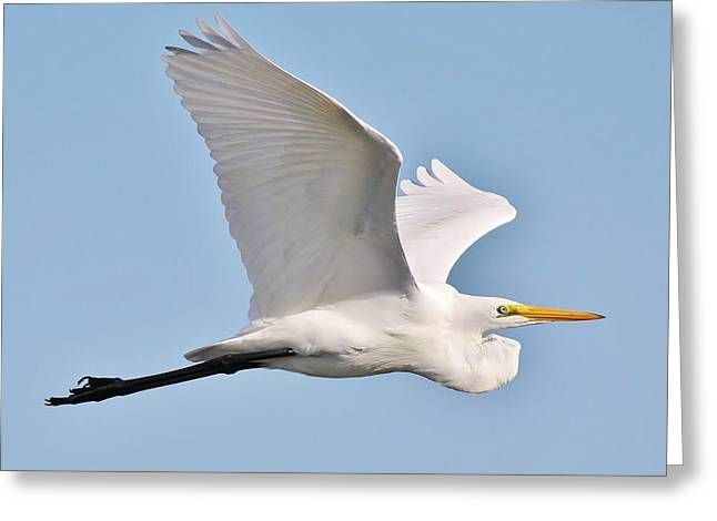 Great White Egret In Flight Greeting Card by Paulette Thomas