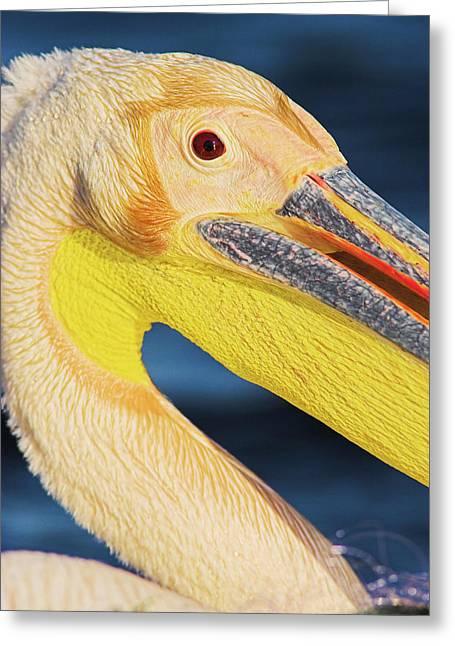 Great White Pelican (pelecanus Greeting Card