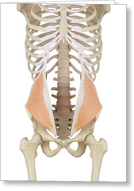 Human Abdominal Muscles Greeting Card