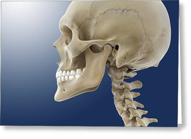 Human Skull, Artwork Greeting Card by Science Photo Library